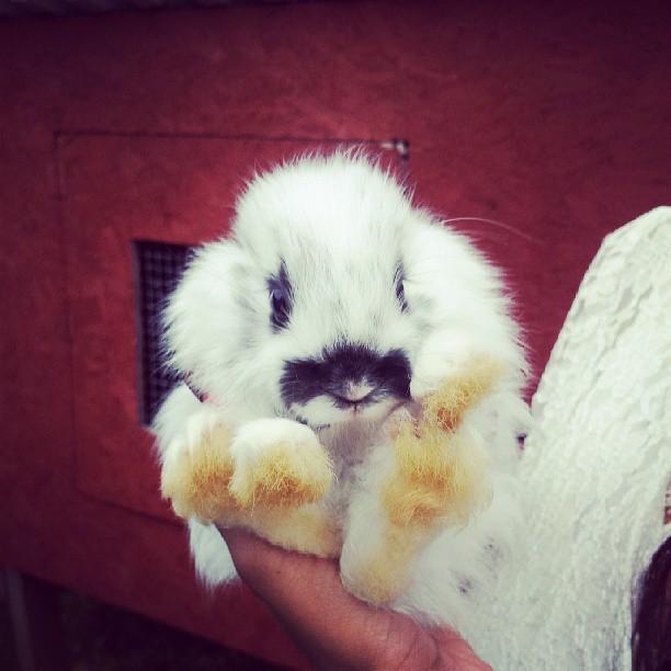 kaninbebis